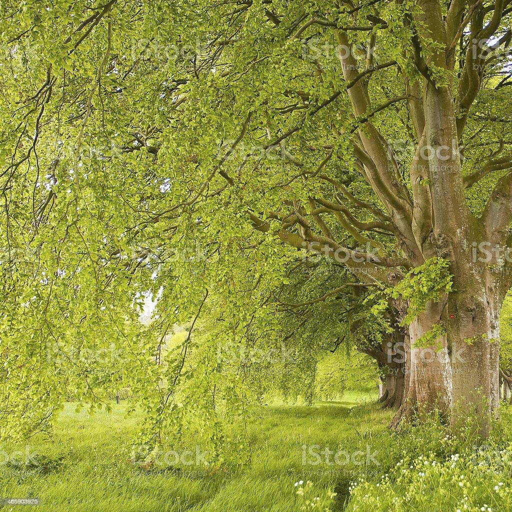 Beech avenue spring stock photo