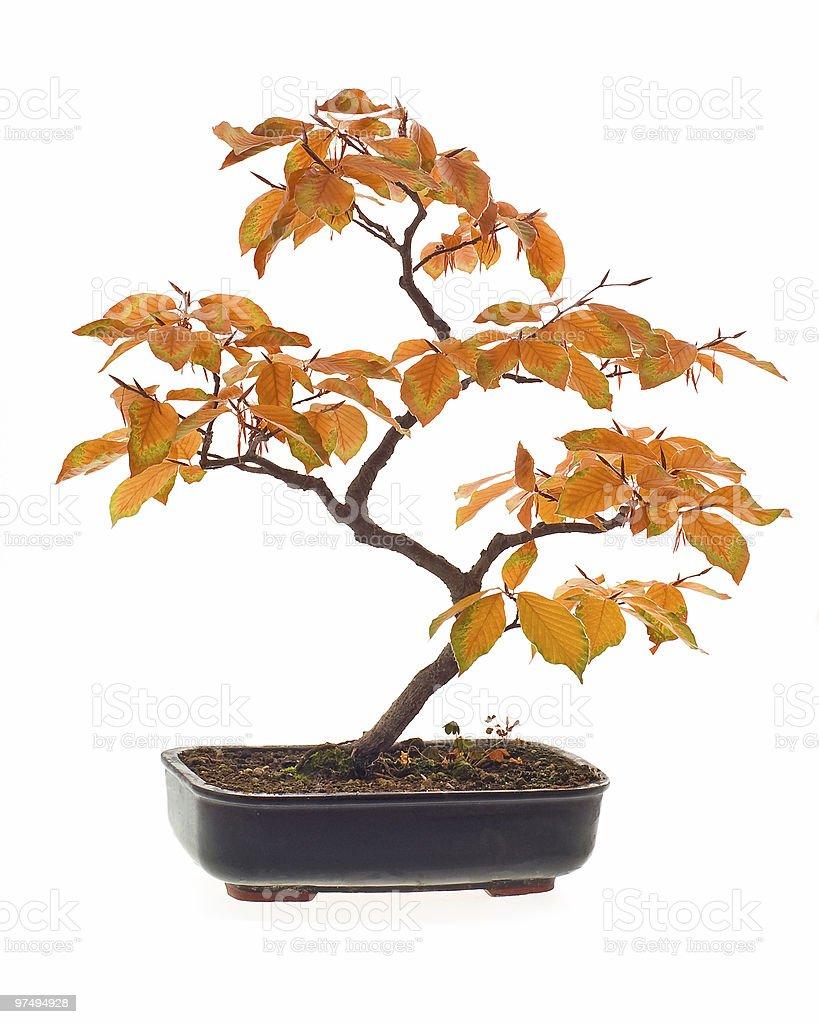 Beech bonsai in autumn colors royalty-free stock photo