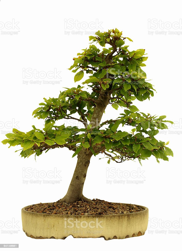 Beech Bonsai On White Stock Photo Download Image Now Istock