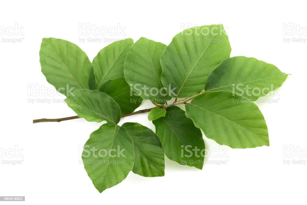 Beech branch with leaves stock photo
