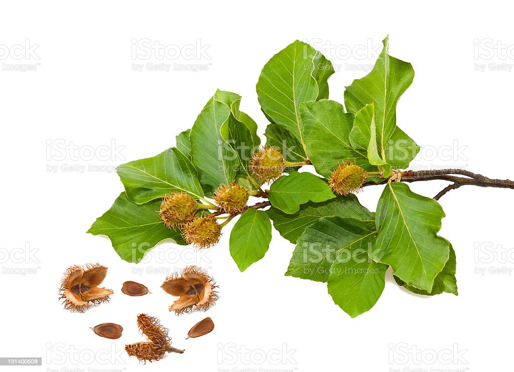 Beech brunch royalty-free stock photo