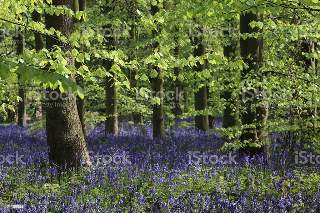 Beech foliage and bluebells in the woodland stock photo