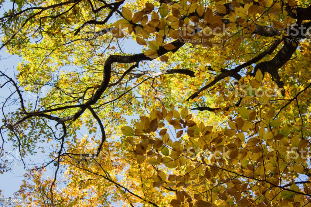 Beech forest at autumn upon blue sky royalty-free stock photo