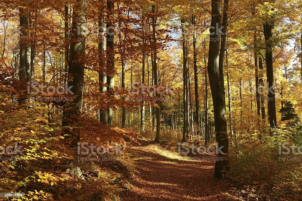 Beech forest in autumn colors royalty-free stock photo