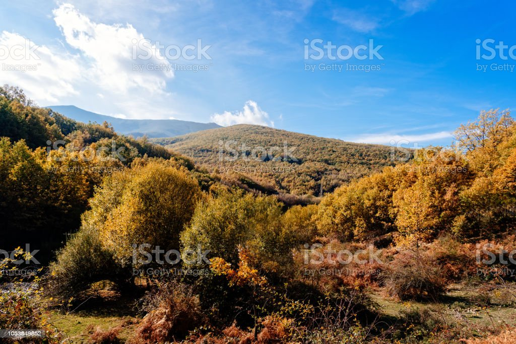 Beech forest in Autumn time a sunny day stock photo