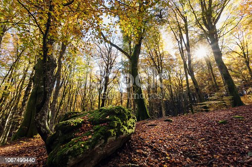 Beech forest with trees in backlight. In the foreground a stone covered with moss, dry leaves of the undergrowth. Autumn colors, branches and trunks without leaves. Beech forest, beech forest in autumn.