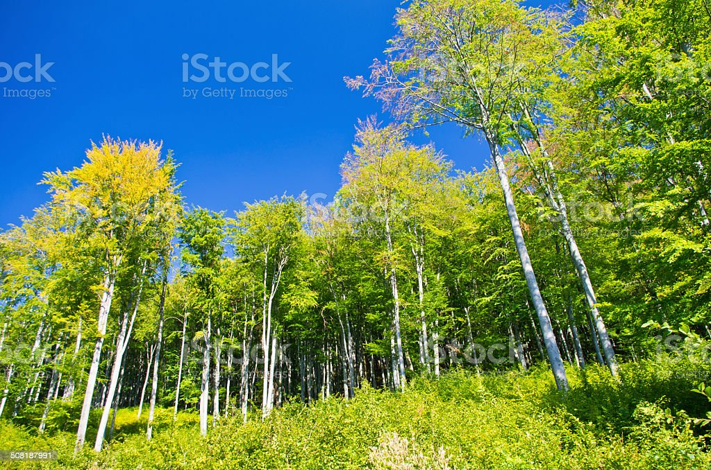 Forêt de hêtre au début de l'automne à Semenic national park - Photo
