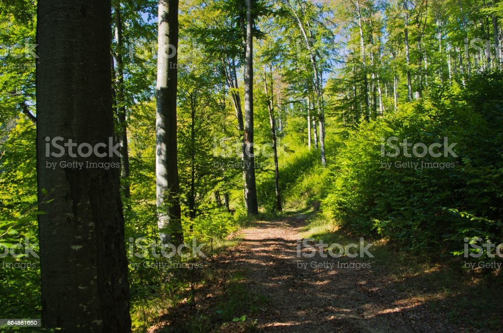 Beech forest in early autumn at Semenic national park stock photo