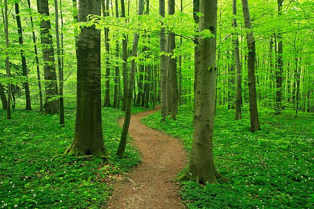 Beech Wald im Frühling – Foto
