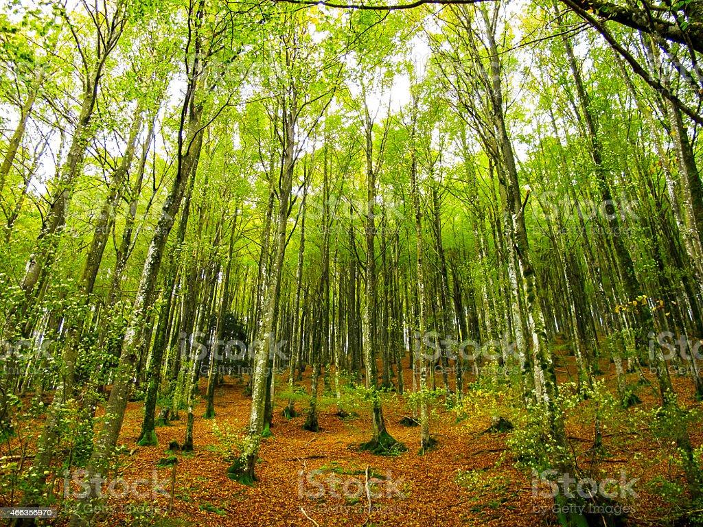 Beech en el bosque aralar sierra guip zcoa pais vasco - Arboles pais vasco ...
