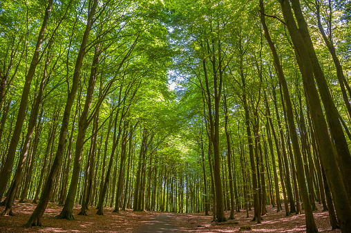 Beech forest in the Jasmund National Park near Sassnitz