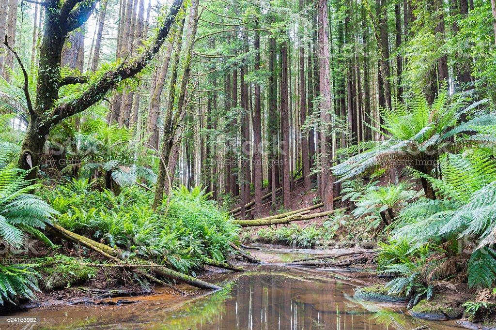 Beech Forest in the Otways Ranges, Australia stock photo