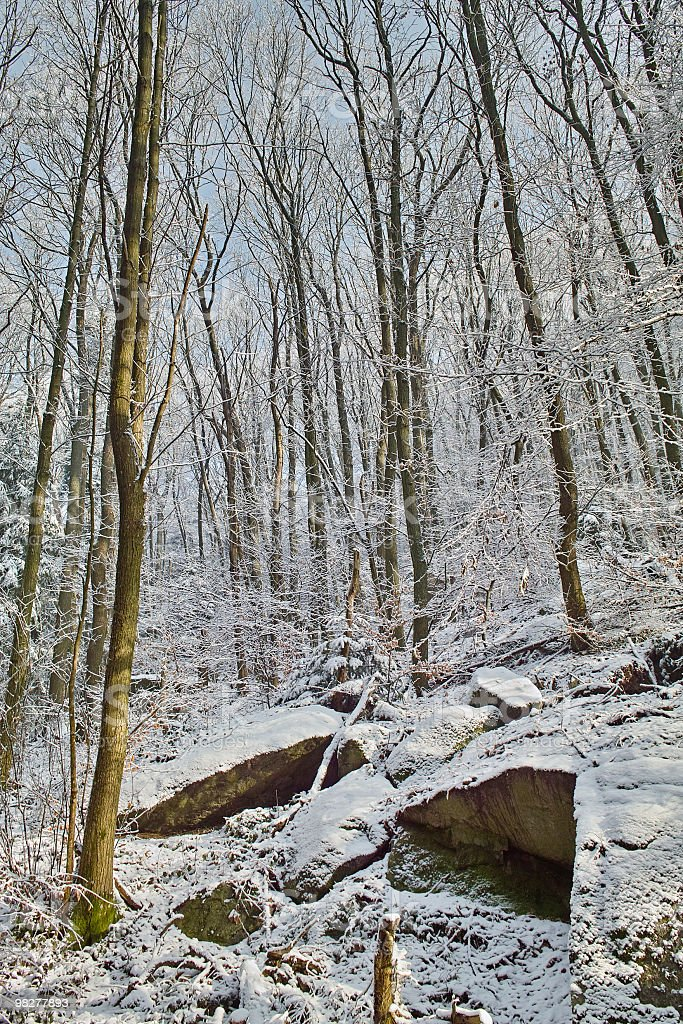 beech forest in winter wit first snow royalty-free stock photo