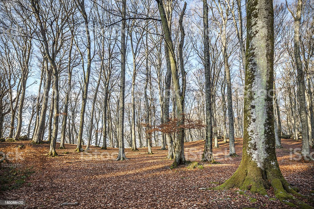 Beech forest - Monte Cimino, Viterbo province, Lazio Italy royalty-free stock photo