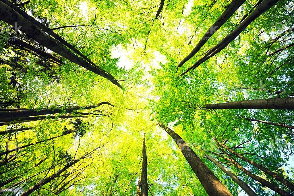 Beech Forest Lizenzfreies stock-foto