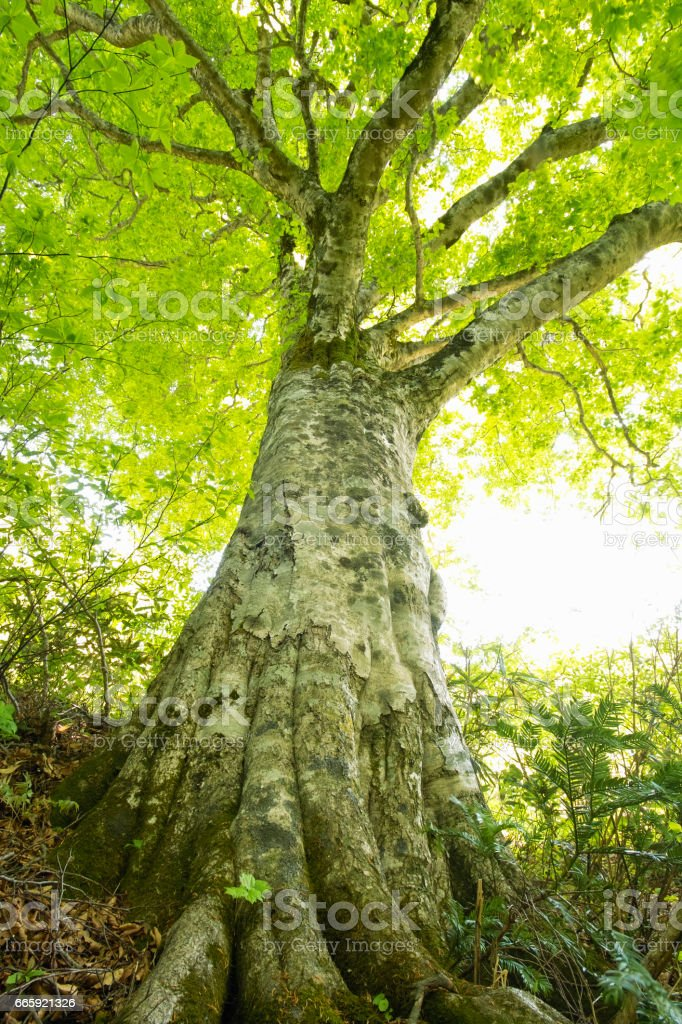 Beech forest foto stock royalty-free