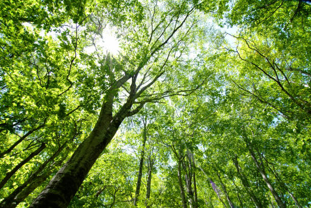 beech forest - forest bathing foto e immagini stock