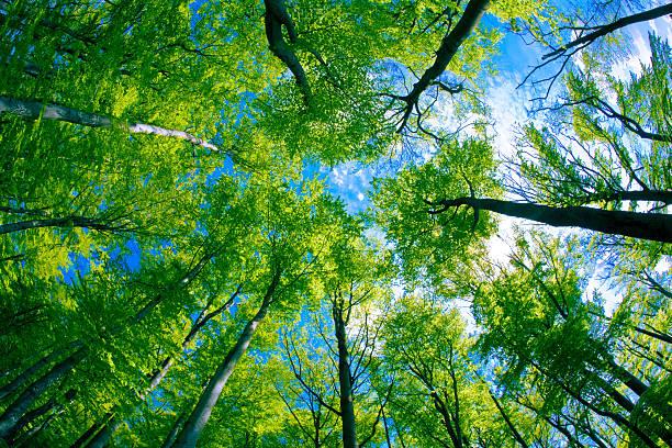 Bosque de Beech - foto de stock