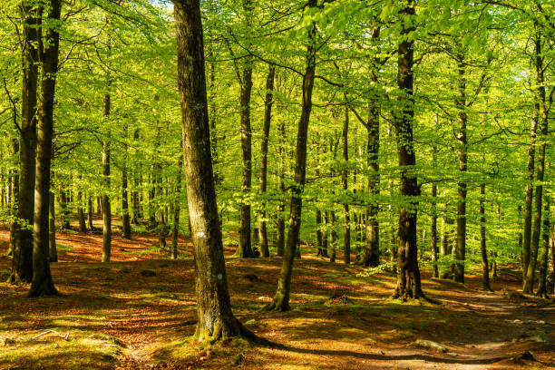 Beech forest Lovely green beech forest on a sunny morning. Soderasen national park in Sweden. beech tree stock pictures, royalty-free photos & images