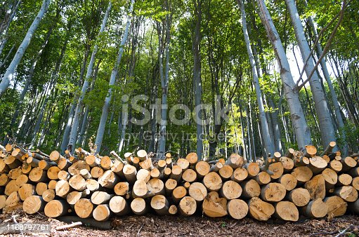 Beech Forest. Freshly chopped tree logs stacked up on top of each other in a pile.