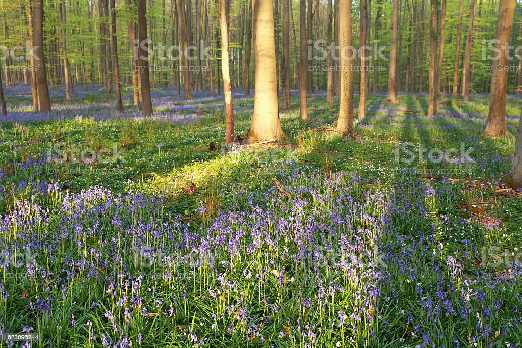 beech forest with blooming bluebells stock photo