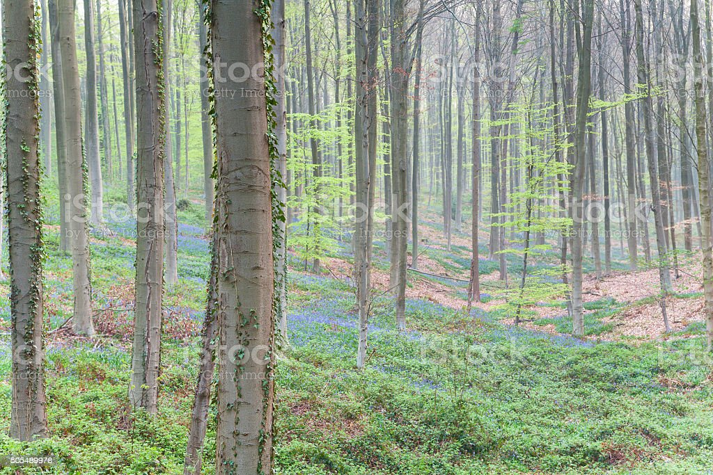 beech forest with flowers in spring stock photo