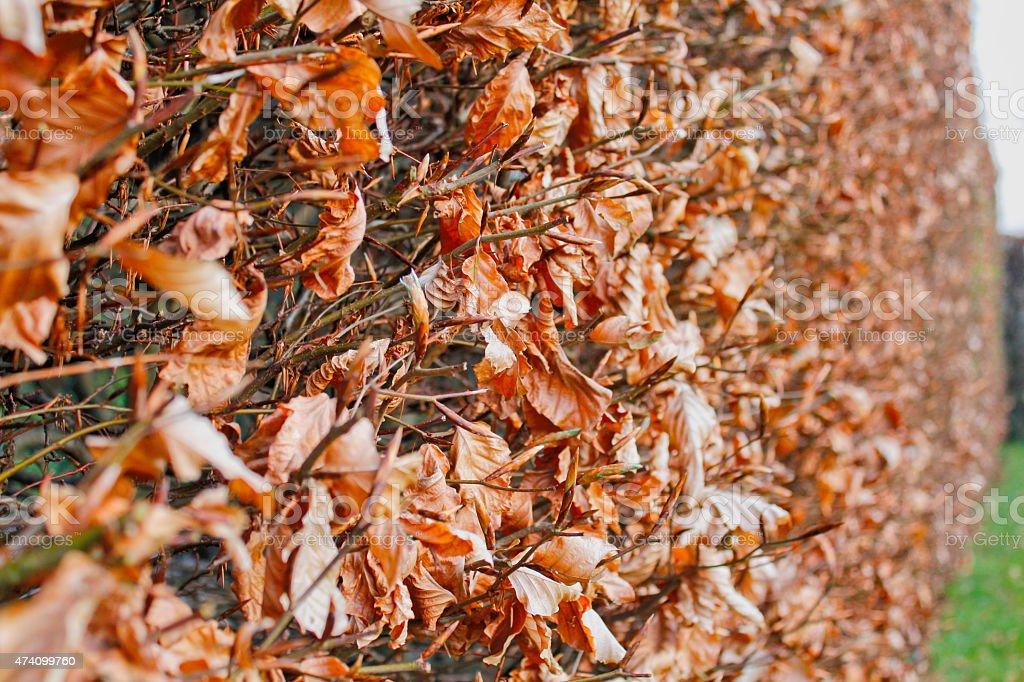 Beech hedge stock photo