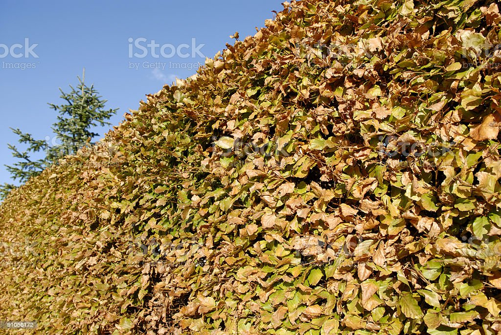 Beech Hedge royalty-free stock photo