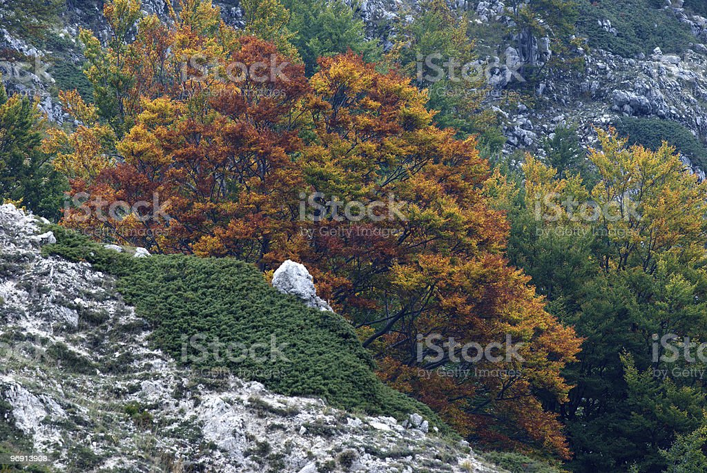 beech in fall royalty-free stock photo
