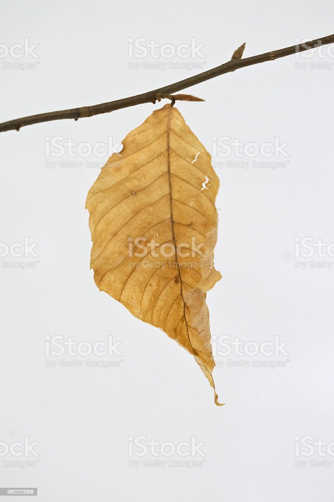 Beech Leaf in Winter royalty-free stock photo