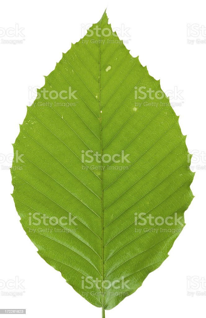 Beech Leaf Isolated on White royalty-free stock photo
