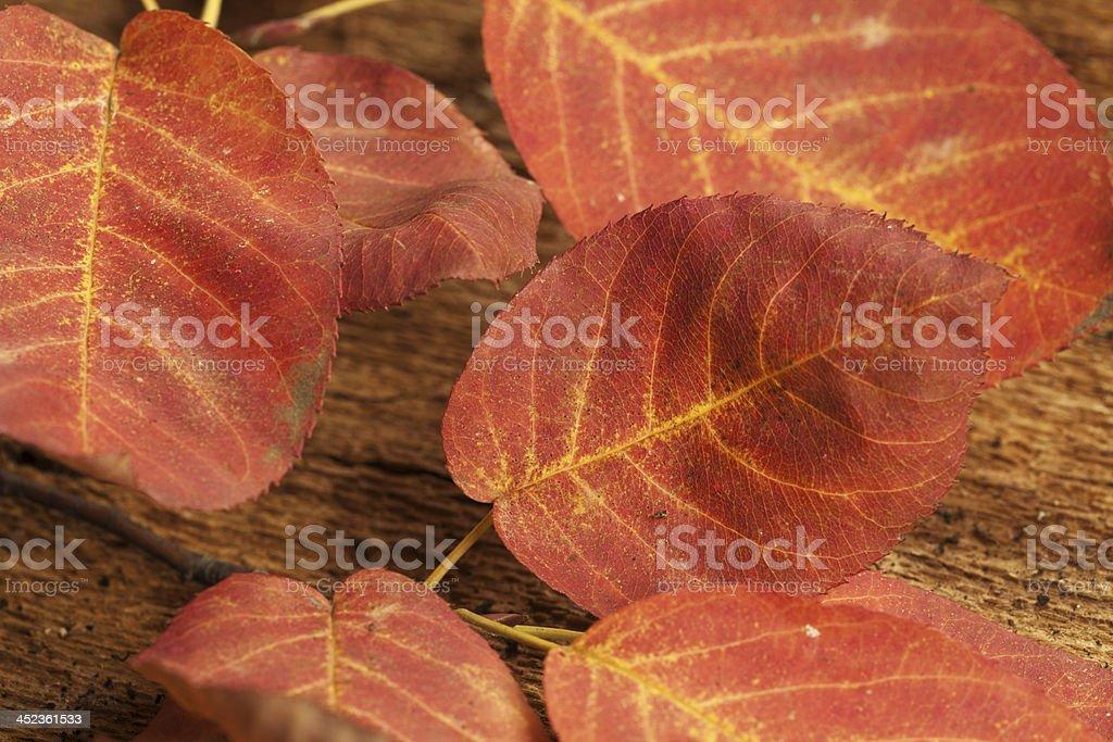 Beech leaf royalty-free stock photo