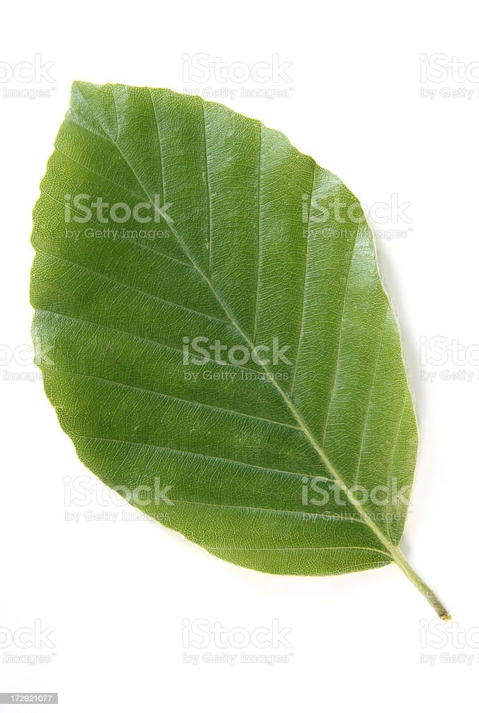 Beech leaf, top stock photo