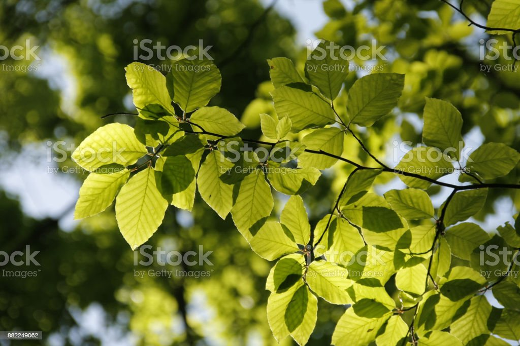 Beech leafs closeup with blur background. Green tree with sun light in the back. stock photo
