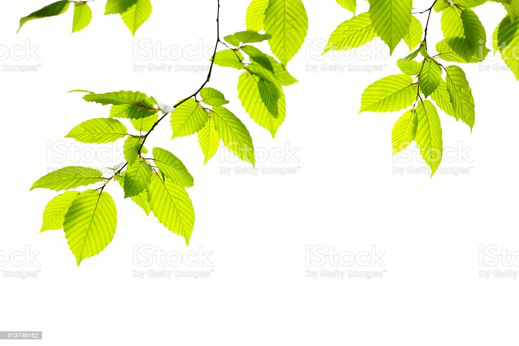 Beech Leafs stock photo