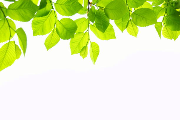 beech leafs - green leaves stock photos and pictures