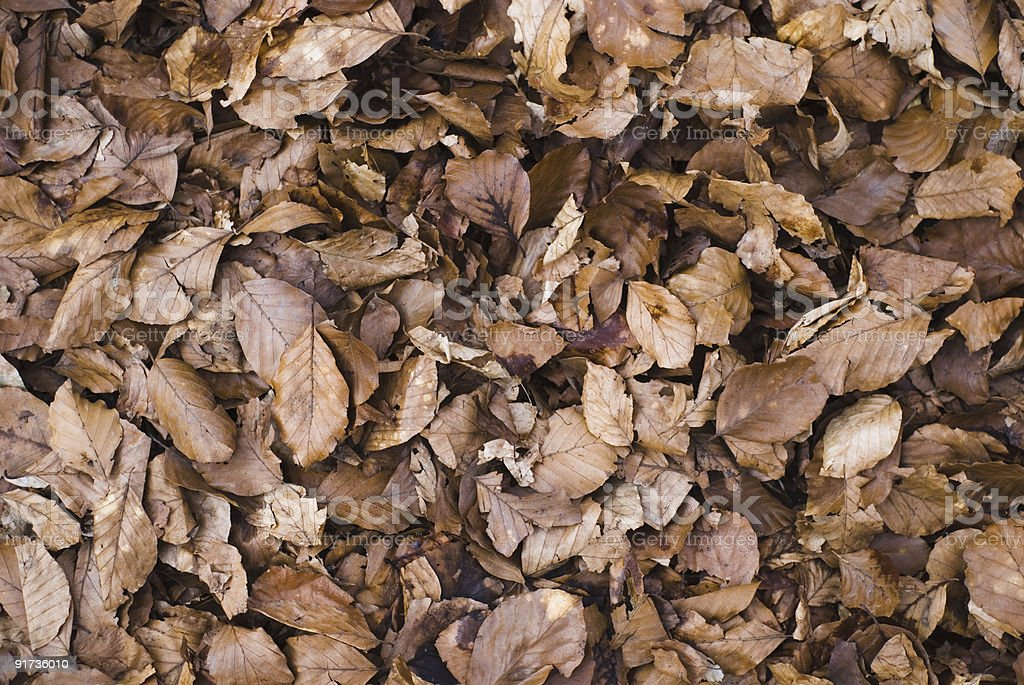 Beech leaves background royalty-free stock photo