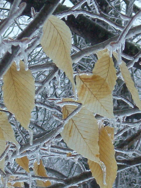 Beech Leaves & Branches with Ice stock photo