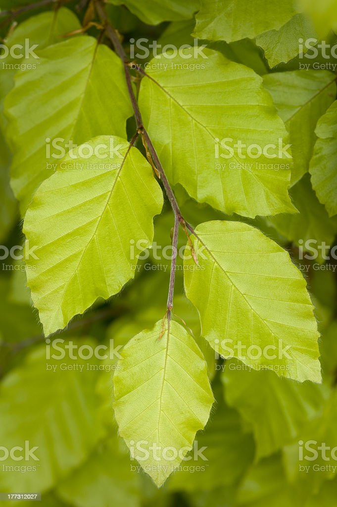beech leaves close up royalty-free stock photo
