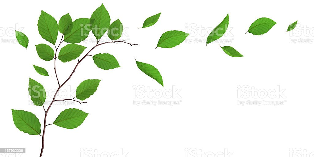 Beech Leaves Falling From The Tree stock photo