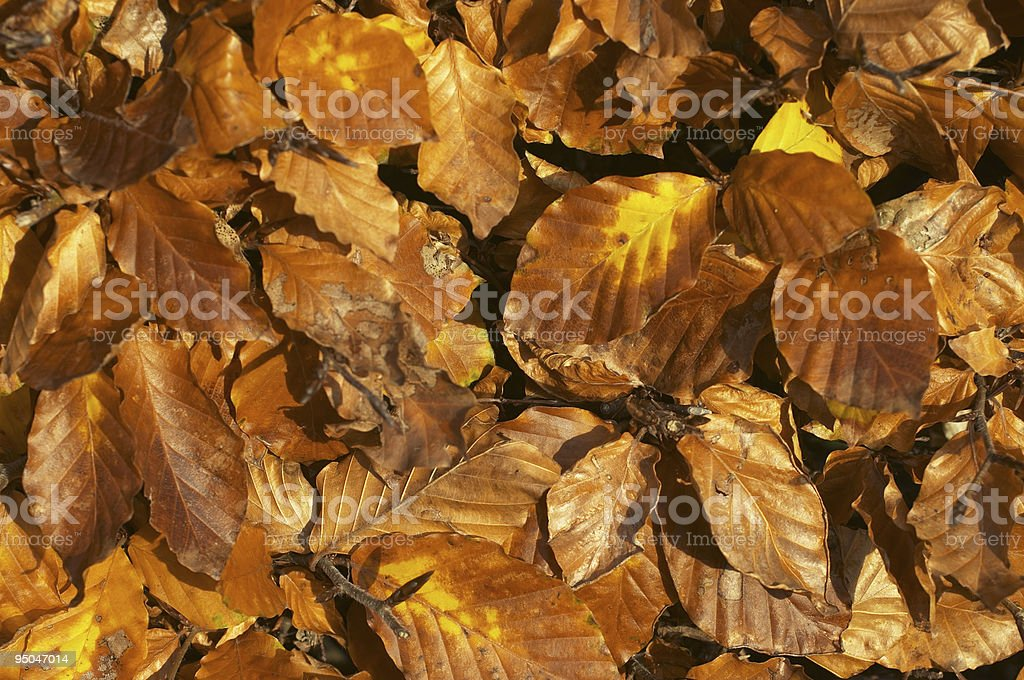 Leafy background autumnal beech hedge stock photo