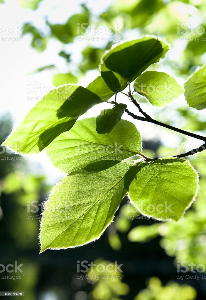 Beech Leaves in Spring royalty-free stock photo