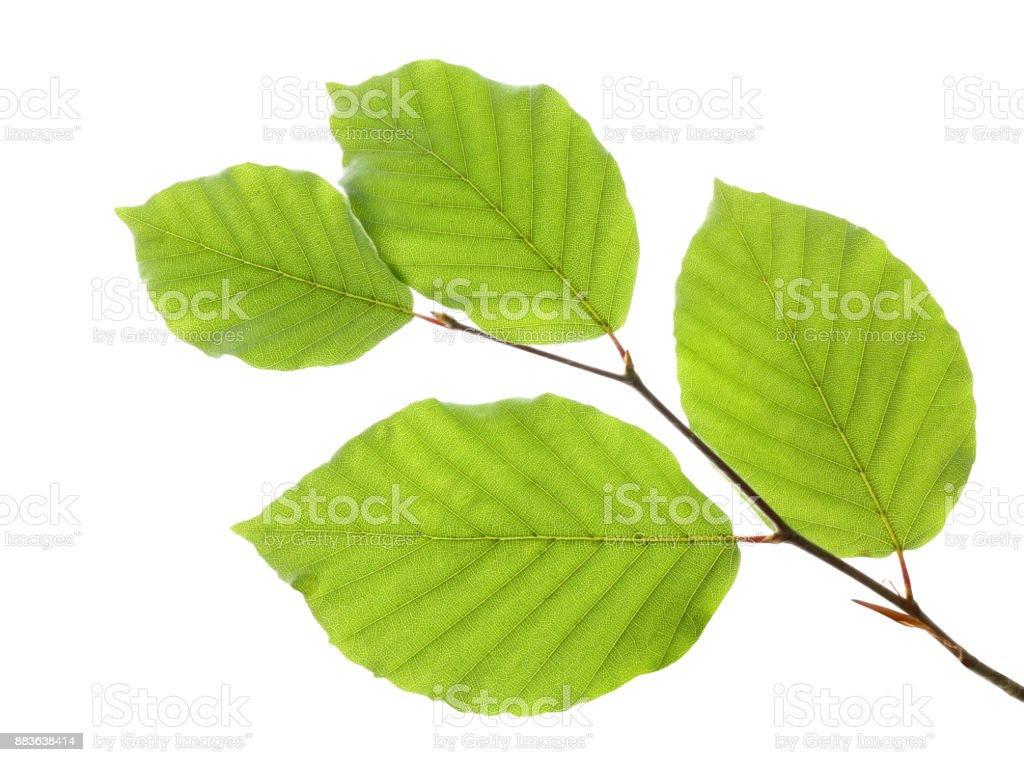 Beech leaves isolated on white background stock photo