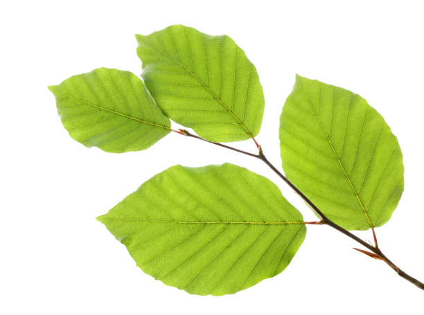 Beech leaves isolated on white background Beech leaves isolated on white background beech tree stock pictures, royalty-free photos & images