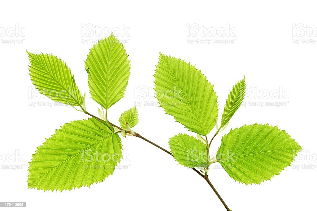 beech leaves isolated on white stock photo
