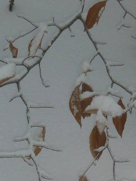 Beech Leaves, Limb and Snow stock photo