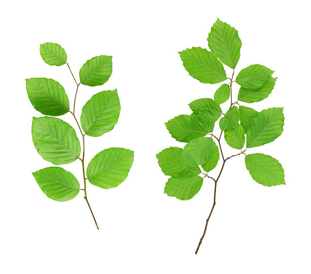 Beech Leaves Two branches from the beech tree on white background. beech tree stock pictures, royalty-free photos & images