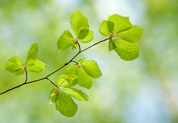 beech leaves stock photo