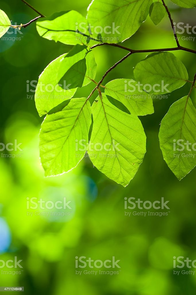 Beech leaves stock photo