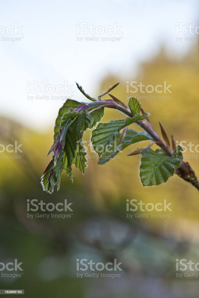 beech leaves unfolding royalty-free stock photo